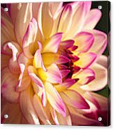 Pink Cream And Yellow Dahlia Acrylic Print