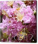 Pink Crepe Myrtle Closeup Acrylic Print by Carol Groenen