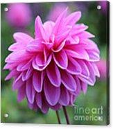 Pink Dahlia Closeup Acrylic Print