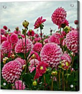 Pink Dahlia Field Acrylic Print