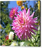 Pink Dahlia Flower Closeup Acrylic Print
