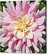 Pink Dahlia Flower Acrylic Print