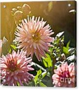 Pink Dahlia Garden Acrylic Print
