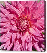 Pink Dahlia II Acrylic Print by Peter French