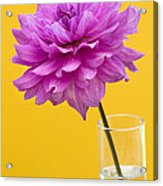 Pink Dahlia In A Vase Against Yellow Orange Background Acrylic Print by Natalie Kinnear