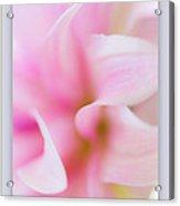 Pink Dahlia Petals Acrylic Print