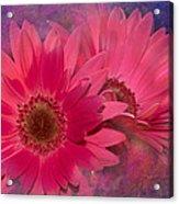 Pink Daisies Abstract Acrylic Print
