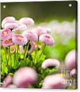 Bellis Perennis Pomponette Called Daisy Blooming  Acrylic Print