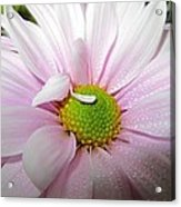 Pink Daisy Freshness With Water Droplets Acrylic Print