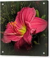 Pink Day Lily Acrylic Print