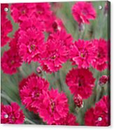 Pink Dianthus Flowers Acrylic Print