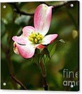 Pink Dogwood 2 Acrylic Print