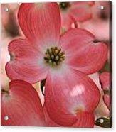 Pink Dogwood At Easter 2 Acrylic Print