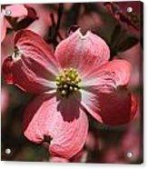 Pink Dogwood At Easter 3 Acrylic Print