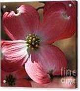 Pink Dogwood At Easter 4 Acrylic Print
