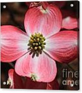 Pink Dogwood At Easter 5 Acrylic Print