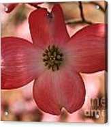 Crown Of Thorns Pink Dogwood At Easter 8 Acrylic Print