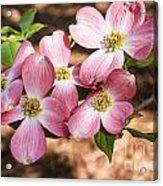 Pink Dogwood Blooms Acrylic Print