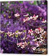 Pink Dogwood With Purple Azaleas Acrylic Print