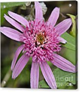 Pink Double Delight Squared Acrylic Print
