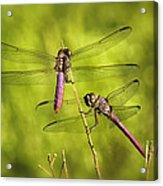 Pink Dragonflies Acrylic Print