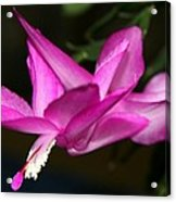 Pink Easter Cactus Acrylic Print