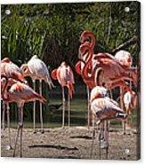 Pink Falmingos At The San Diego Zoo Acrylic Print
