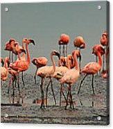 Pink Famingo Acrylic Print