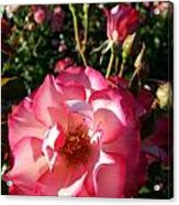 Pink Flaminco Rose 2 Acrylic Print