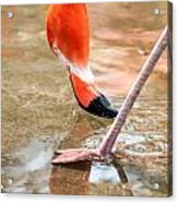 Pink Flamingo At A Zoo In Spring Acrylic Print
