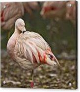 Pink Flamingo Acrylic Print