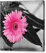 Pink Flower Acrylic Print by Amr Miqdadi