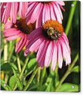 Pink Flower And Bee Acrylic Print