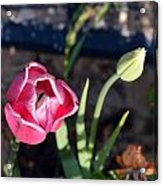 Pink Flower And Bud Acrylic Print