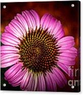 Pink Flower Blooming Acrylic Print