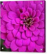 Pink Flower Blossoming Acrylic Print