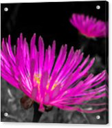 Pink Flower In A Green Grass - Splash Acrylic Print
