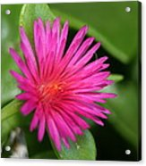 Pink Flower Of Succulent Carpet Weed  Acrylic Print