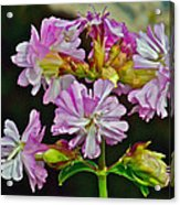 Pink Flower On Brier Island In Digby Neck-ns Acrylic Print