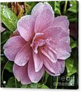 Pink Flower With Rain Drops Acrylic Print