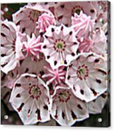Pink Flowered Mountain Laurel Acrylic Print