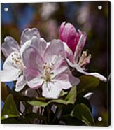 Pink Flowering Crabapple Blossoms Acrylic Print