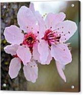 Pink Flowering Tree Floral Acrylic Print