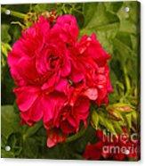 Pink Flowers Blooming Acrylic Print