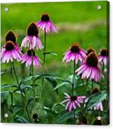 Pink Flowers In Maine Acrylic Print by Jason Brow
