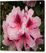 Pink Flowers In Spring Acrylic Print