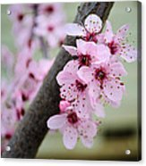 Pink Flowers On A Flowering Tree Acrylic Print
