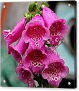 Pink Foxglove Acrylic Print by Karon Melillo DeVega
