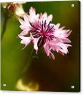 Pink Frillies Acrylic Print