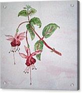 Pink Fuchsia's  Acrylic Print